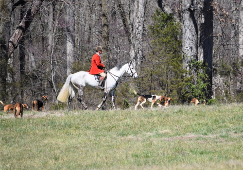 Man on a White Horse with Hunting Dogs
